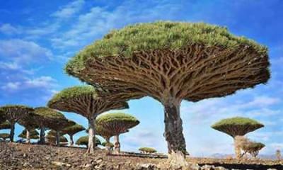 tree dragon